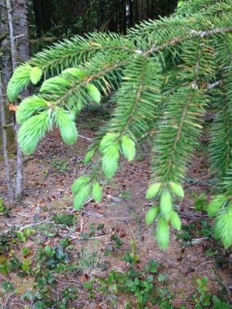 spruce syrup1